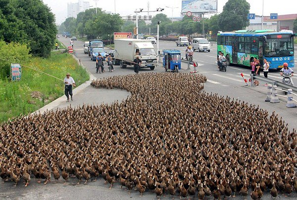 5000 ducks cause epic traffic jam in china
