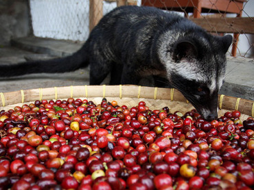 World's Most Expensive Coffee Made Of Civet Cat Droppings ...
