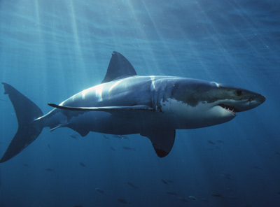 white sharks have to keep moving in order to stay alive   pump water over their gills simply by opening and closing their mouths but white sharks are among those that have to keep moving in order to avoid death