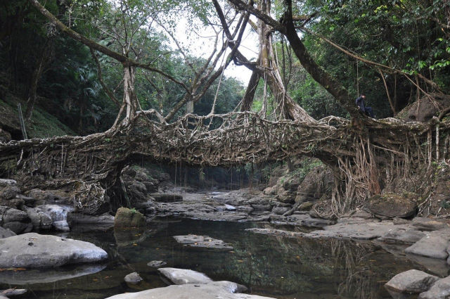 living root bridge from cherrapunji