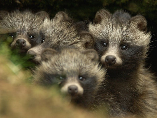 Raccoon Dog