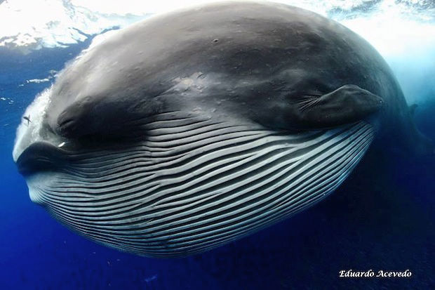 The Bryde's whale