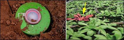 Landmine Detecting Plants