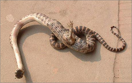 Snake with foot found in China