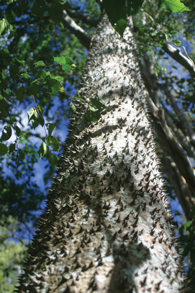 There's A Tree Covered In Spikes Whose Fruit Explodes Sending Sharp Seeds 100 Feet At 150 Mph ...