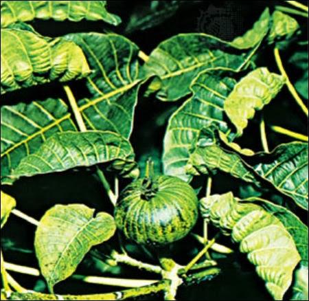 Leaves and seed capsule of a sandbox tree