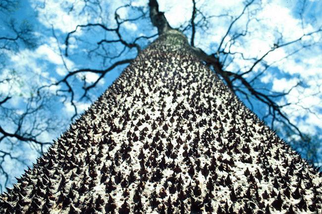 sandbox tree (Hura crepitans)