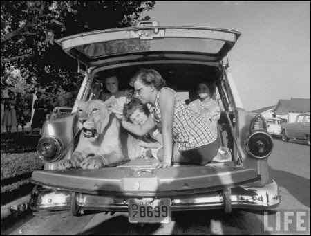 """Blondie"" lion as a pet  with family in car"
