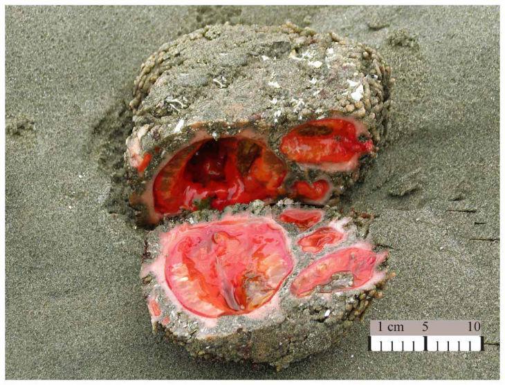 Pyura chilensis