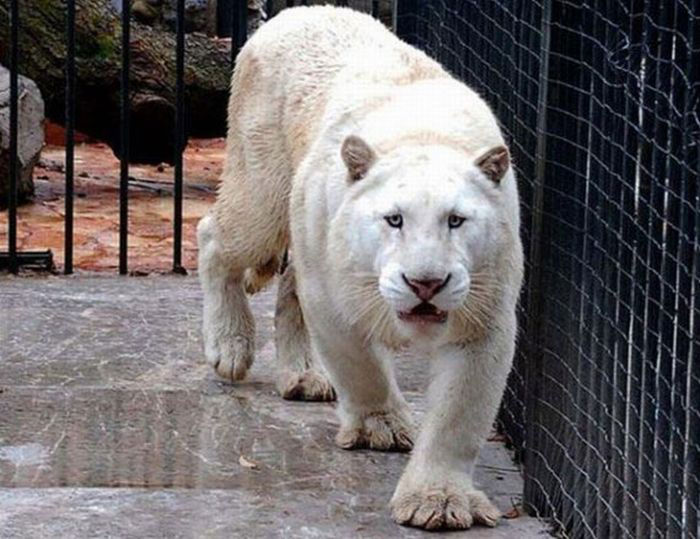 A very rare Tiger!