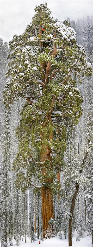 Massive 3,200 Year Old Tree That's Never Until Now, Been Captured In A Single Image