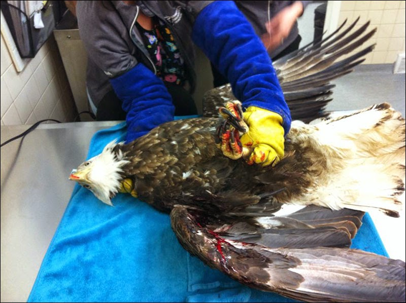 Bald Eagle, with a broken wing