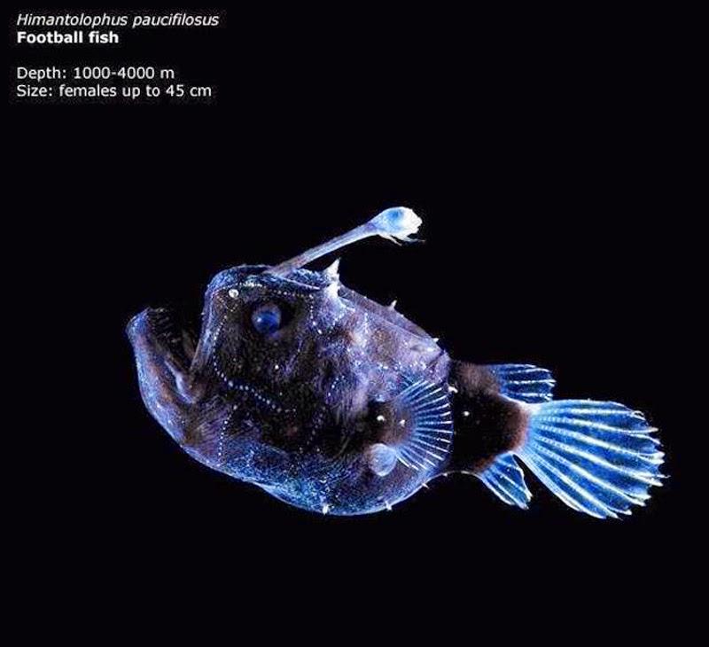 Footballfish