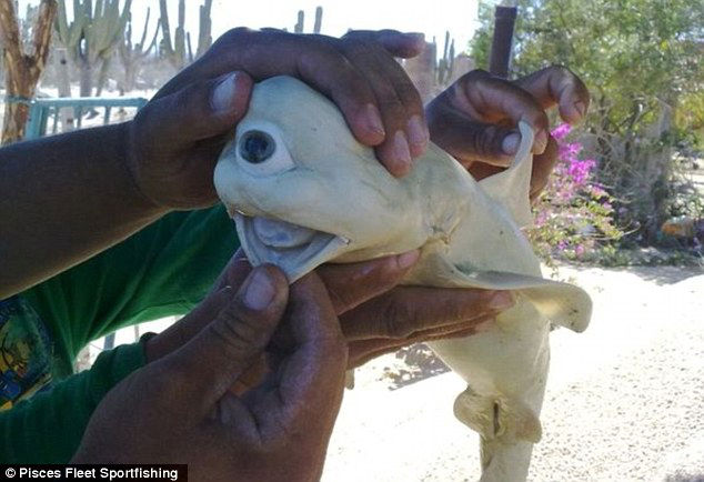 Single-eyed Albino Shark