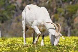 Benalla dairy farmer saved by goat