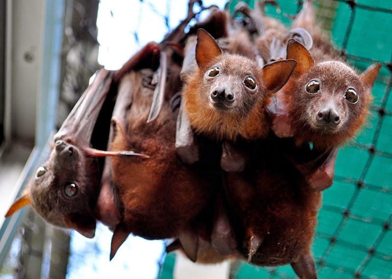 Abandoned Baby Bats In Tolga Bat Hospital
