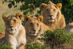 Lions rescue a kidnapped girl