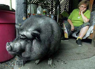 Pig That saved owner