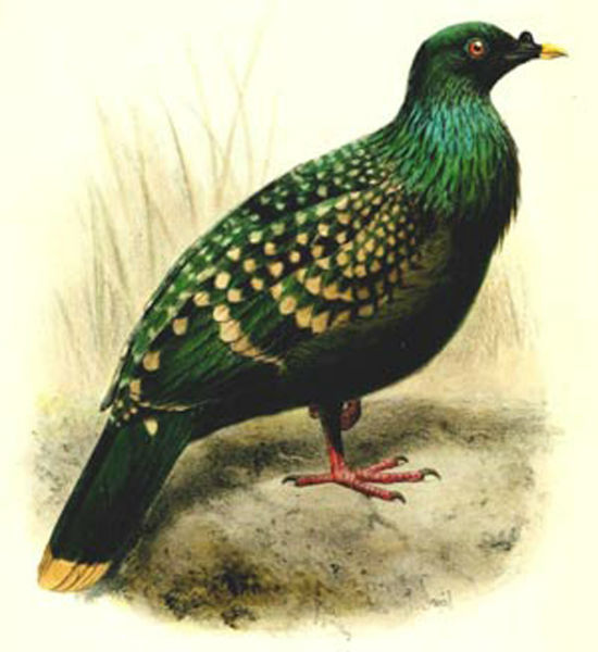 Spotted Green Pigeon
