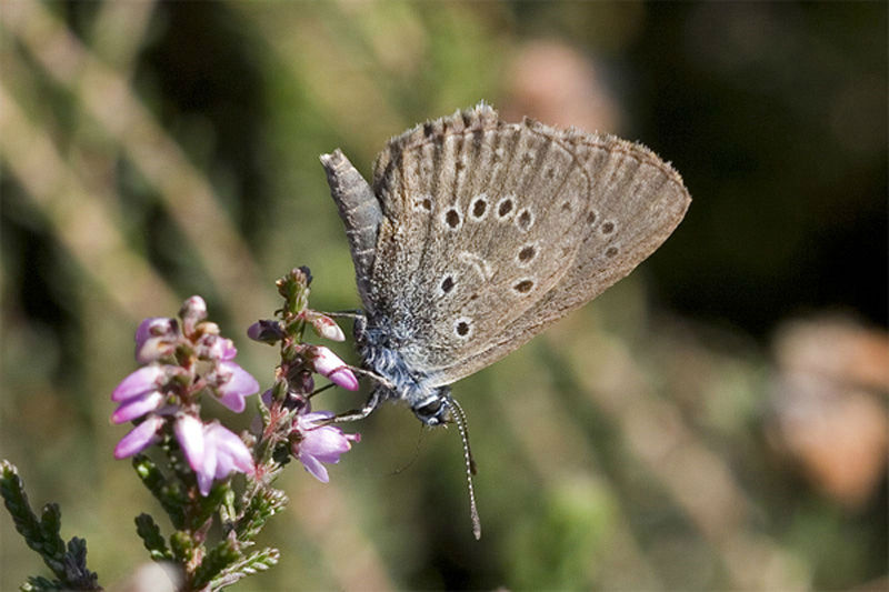 alcon blue butterfly