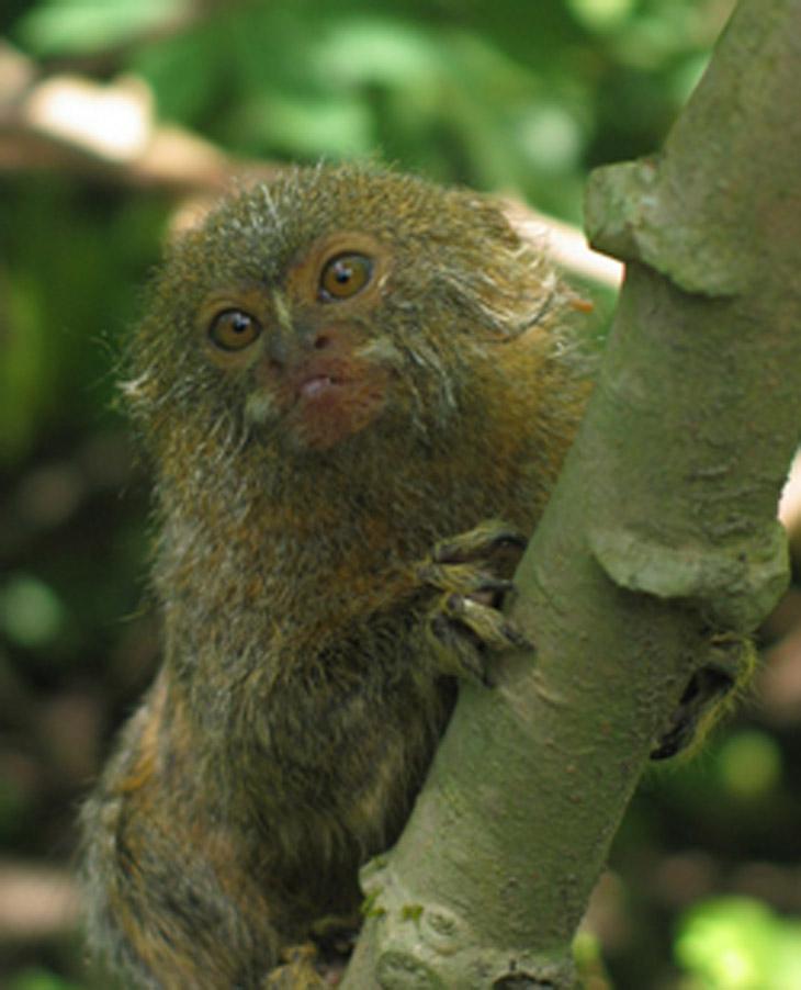 Pygmi