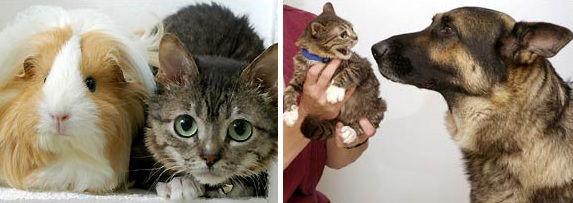 World's smallest cat, Mr. Peebles