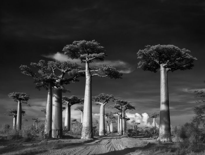 Ancient Trees