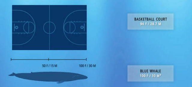Size of blue whale
