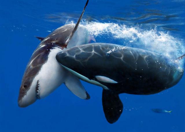 killer whale attacking great white shark