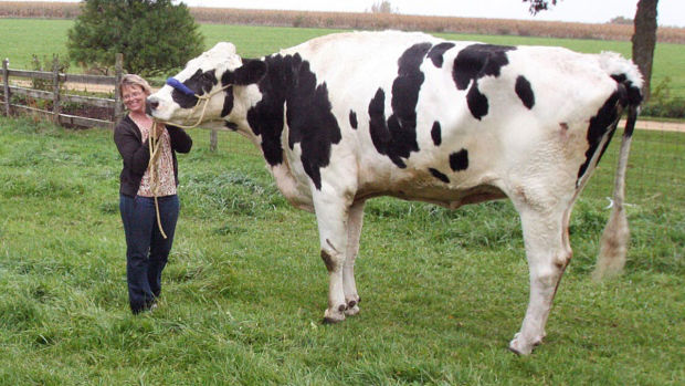 Blosom, world's biggest cow