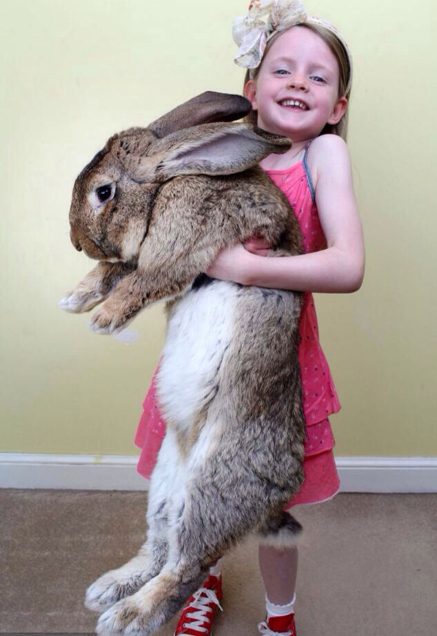 Darius, world's biggest rabbit