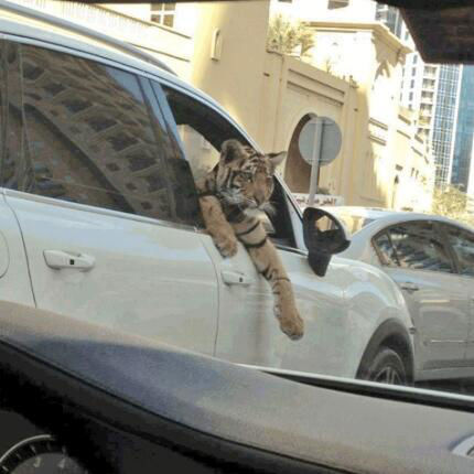 Tiger in car, dubai