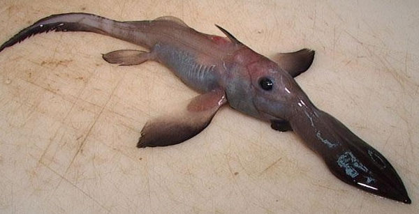 Chimaera Ghost Shark