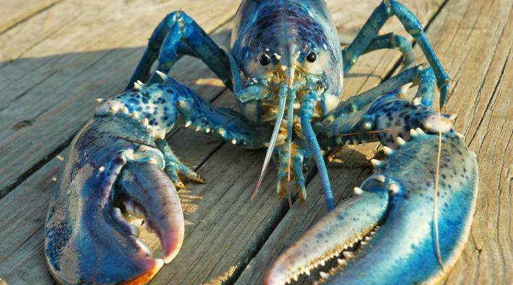 Lobster brain