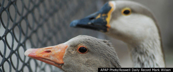 PRISON USES GEESE AS ALARM SYSTEM