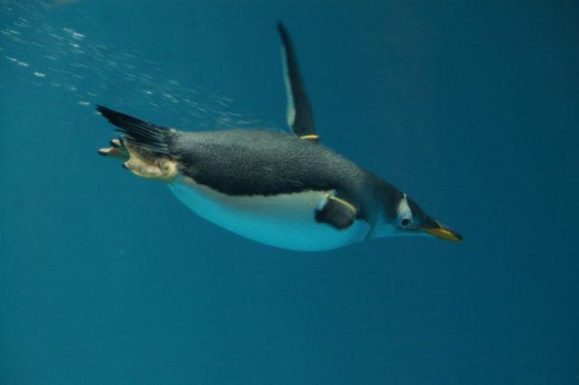 Penguin drink salt water