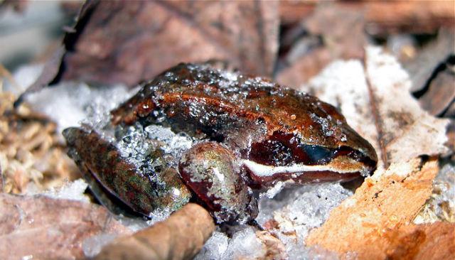 Wood Frog frozen