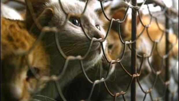 cat killing in china