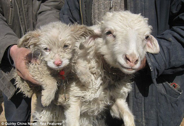 sheep puppy