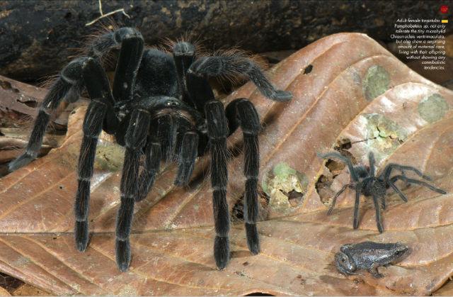 tarantulas keep tiny frogs as pets