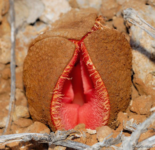 The flower of the hydnora africana looks pretty monstrous - Furniture that looks like food ...