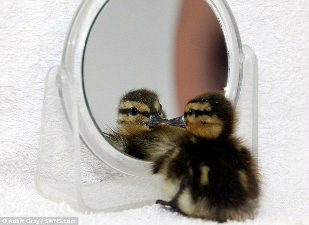 lonely duckling