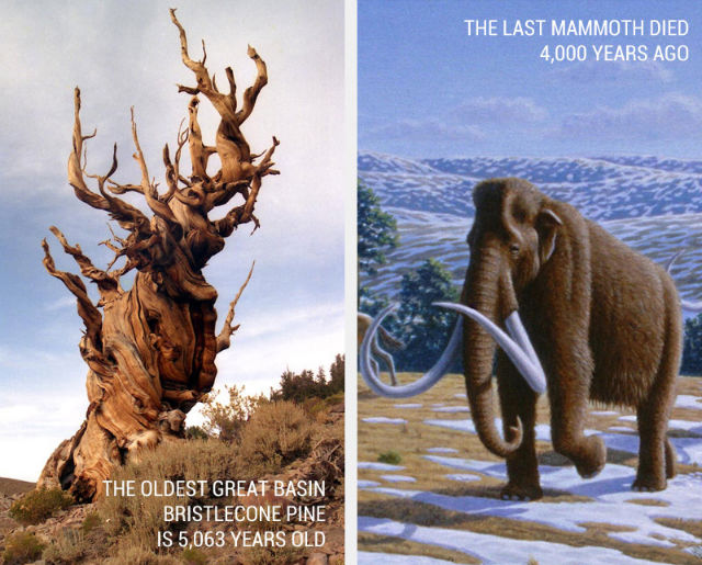 Oldest living tree and Woolly Mammoth