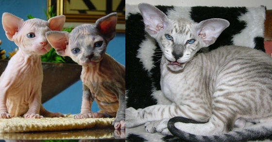 15 Strangest To Cutest Cat Breeds You Ve Never Seen Before