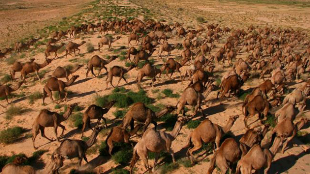 Feral Camels attacked in australia