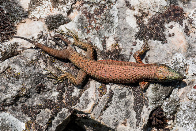 Tripple Tailed Lizard