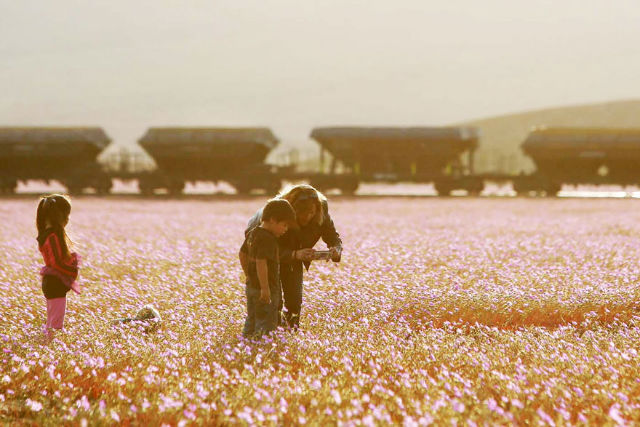 Atacama desert flowers blossom after 14 years
