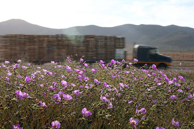 flowers bloomed after it rains on Atacama desert