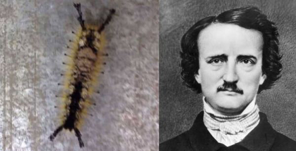 Caterpillar with a face of Edgar Allan Poe