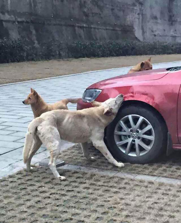Stray Dogs destroying car